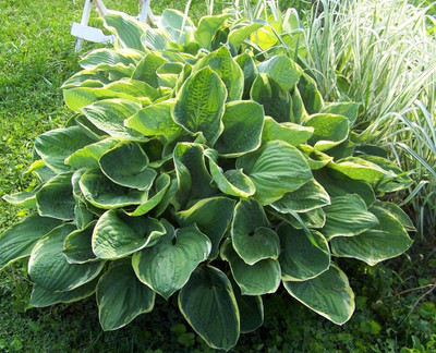 Christmas Tree Hosta - Shade Perennial - Quart Pot - Live Plant