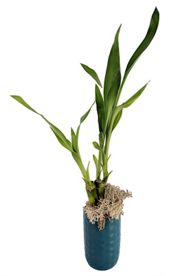 """Lucky Bamboo with Moss - Blue Ceramic Vase - 3"""""""