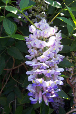 """Blue Moon Wisteria Plant - Potted - Huge Fragrant Blooms - 2.5"""" Pot"""