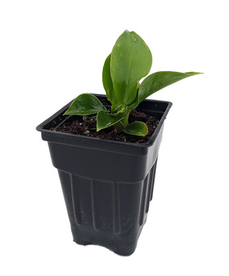 "Little Phil Philodendron - Houseplant/Terrarium/Fairy Garden -2.5"" Pot"