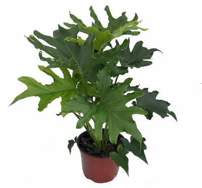 """Lickety Split Philodendron - Easy to Grow House Plant - 6"""" Pot"""
