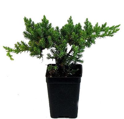 "Japanese Juniper Bonsai Starter Tree - 3"" pot"