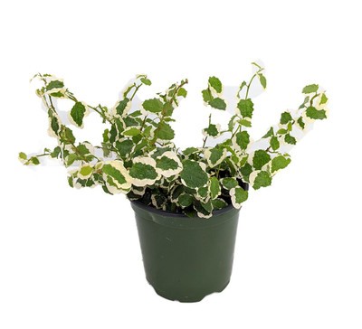 "Creme & Green Creeping Fig Plant-Ficus - 4"" Pot - Live Plant"