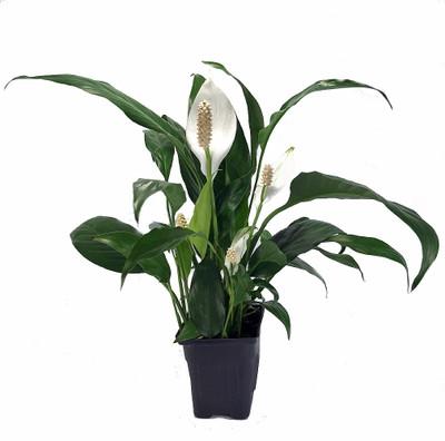 """Zen Peace Lily Plant - Spathyphyllium - Great House Plant - 4"""" Pot"""