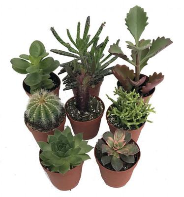 """Instant Cactus/Succulent Collection - 8 Plants -Terrarium/Fairy Garden- 2"""" pots"""