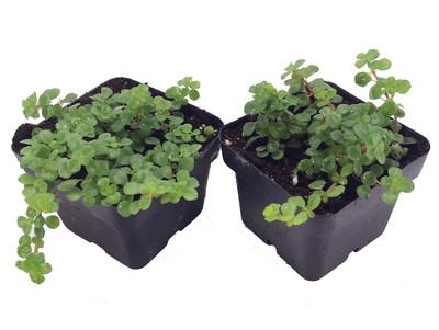 "Large Leaf Baby Tears/Jobes Tears/Tiny Tears - Pilea depressa - 2 Plants 3"" Pots"