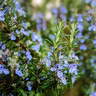 Common Rosemary Plant - Quart Pot - Great Gift for Indoors or Out