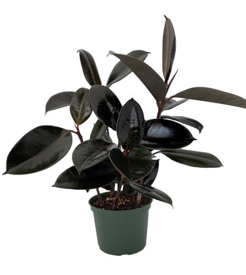 "Burgundy Rubber Tree Plant - Ficus - An Old Favorite - 6"" Pot"