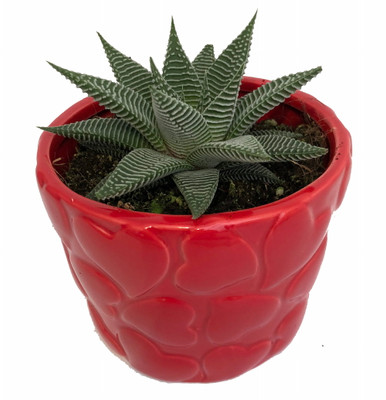 """Red Heart Ceramic Planter with Live Succulent Plant - 4.25"""" x 3.5"""""""