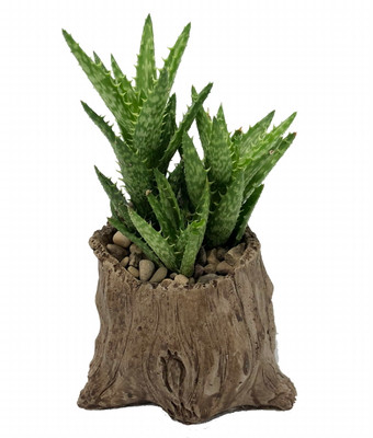 "Wedgewood Ceramic Planter + Live Low Maintenance Succulent Plant - 3"" x 3 3/4"""