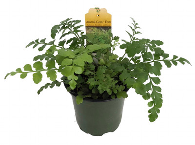 "Austral Gem Fern - 4"" Pot - Asplenium dimorphum - Easy to Grow House Plant"