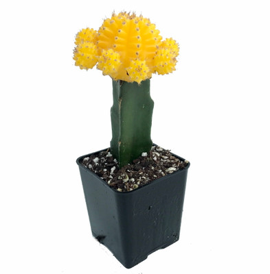 """Yellow Grafted Moon Cactus - Easy to Grow - 2.5"""" Pot - Live Plant"""