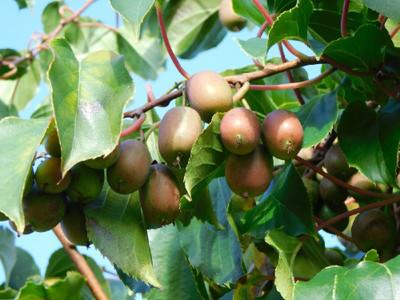 "Hirt's Hardy Anna Kiwi Plant - Actinidia - FEMALE - Tasty! - 2.5"" Pot"