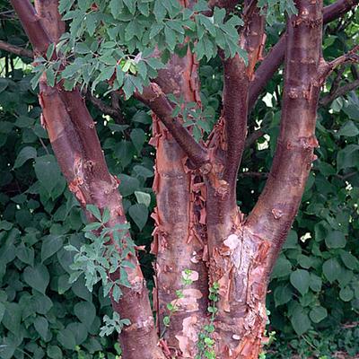 "Paperbark Maple - Outdoors or Bonsai - Acer griseum - 5.5""  Pot"