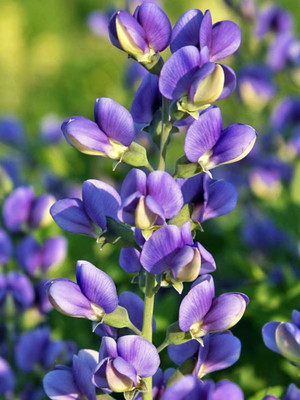 Decadence® Blueberry Sundae Baptisia - False Indigo - Gallon Pot