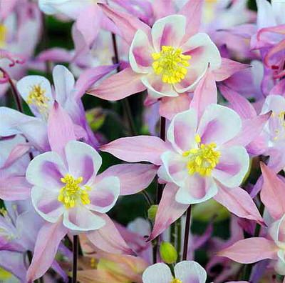 Winky Pink Columbine Perennial - Aquilegia - Quart Pot