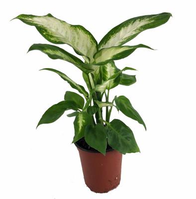 "Camille Dieffenbachia - Easy to Grow - Very Durable - 3.5"" Pot"