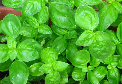 "Sweet Large Leaf Italian Basil - Must Have Herb - 3"" Pot"