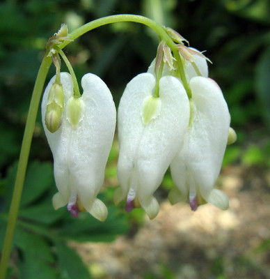 Aurora Bleeding Hearts - Dicentra - SHADE - Bare Root