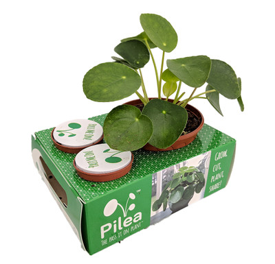 Chinese Money Plant - Pass It On Plant - Pilea peperomioides - Share Gift Box