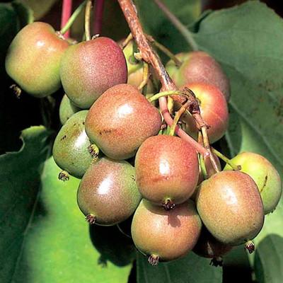"""2 Hardy Kiwi Plants - Actinidia - Geneva and Meader - 2.5"""" Pot"""