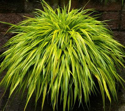 Golden Japanese Forest Grass - Hakonechloa aureola - Shade Lover - Gallon Pot