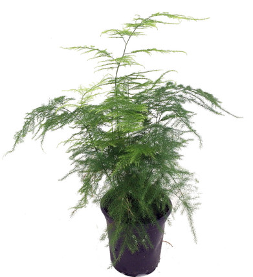 "Fern Leaf Plumosus Asparagus Fern - 6"" Pot- Easy to Grow Houseplant - Live Plant"