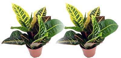 "Colorful Croton - 3"" Pots - 2 Pack - Easy to Grow House Plant - Codiaeum Petra"