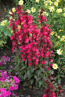 Starship™ Deep Rose Cardinal Perennial Plants - Lobelia - Quart Pot