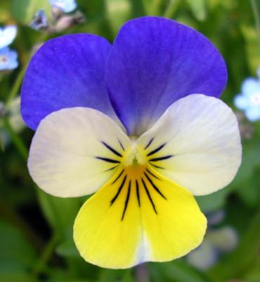 Johnny Jump Up Violet Perennial - Viola tricolor - Quart Pot