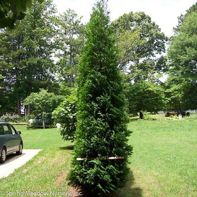 Full Speed A Hedge American Pillar Arborvitae - Thuja occidentalis - 2 Qt Pot
