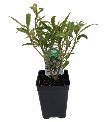 """Willow Leaf Weeping Fig - Ficus - 2.5"""" Pot - Fairy Garden Plant or Bonsai"""