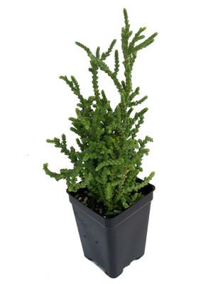 """Princess Pine Succulent Plant - Crassula muscosa - 2.5"""" Pot"""