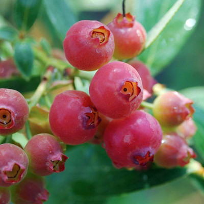 "Pink Lemonade Blueberry Bush - Hot Pink Fruit - 2.5"" Pot"