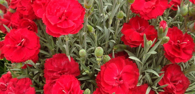 Early Bird ™ Radiance Dianthus - Double Red Blossoms - Live Plant -  Quart Pot