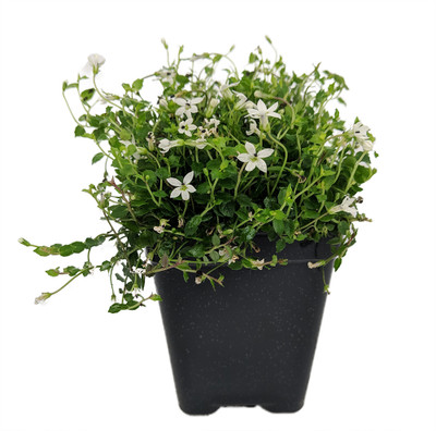 "Alpine White Star Creeper - Isotoma - 2.5"" Pot - Fairy Garden/Outdoors"