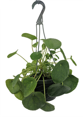 """Chinese Money Plant - Pass It On Plant - Pilea peperomioides - 6"""" Hanging Basket"""