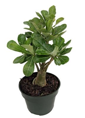 """Arabic Desert Rose - Adenium - 6"""" Pot - Easy House Plant"""
