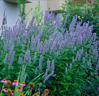 Blue Fortune Hummingbird Mint - Agastache - Anise Hyssop - Hardy - Quart  Pot
