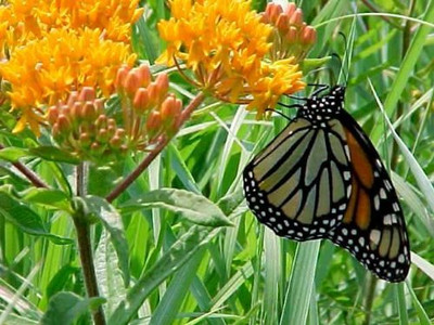 Butterfly Weed Perennial - Asclepias tuberosa - Quart Pot
