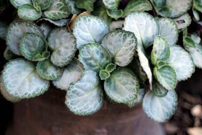 "Emerald Lace Swedish Ivy Plant - Plectranthus oertendahlii - 2.5"" Pot"