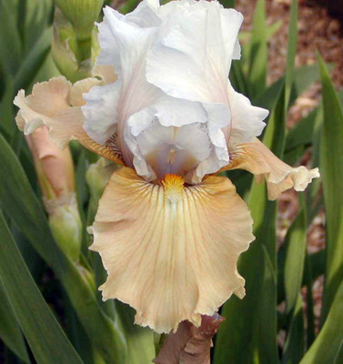 Champagne Elegance Bearded Iris - Rebloomer! - Top Size Root
