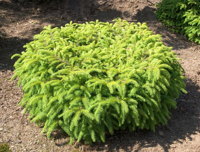 Bird's Nest Spruce - Picea abies Nidiformis - Quart Pot