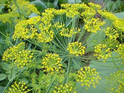 """Super Dukat Dill Herb - Anethum graveolens - 3"""" Pot"""