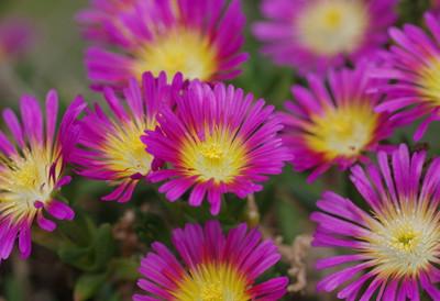 Hot Pink Wonder Ice Plant - Perennial -  Delosperma -  Live Plant - Quart Pot