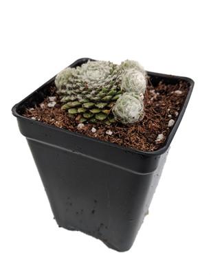 "Lagger's Mini Hens & Chicks - Sempervivum - Very Hardy - 2.5"" Pot"