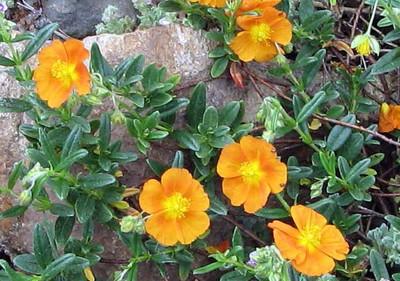 Bronze Carpet Sun Rose - Helianthemum - Quart Pot