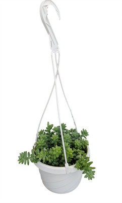 """Burros Tail - 6"""" Hanging Basket - Easy to grow/Hard to kill - Succulent Plant"""