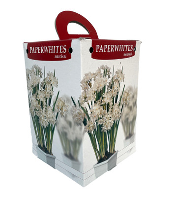 Paperwhite Narcissus Growing Kit - Makes Good Scents - with 4 Bulbs