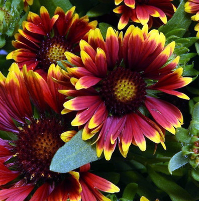 Spin Top Orange Halo Blanket Flower - Gaillardia - Live Plant - Gallon Pot